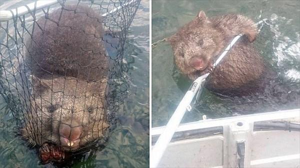 なぜか湖を泳いでいたウォンバット 釣り人がタモで救出!