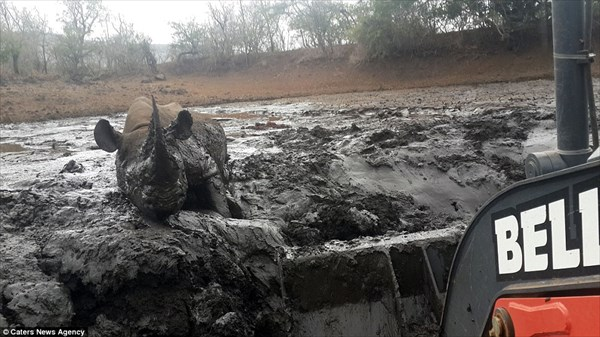 泥にはまったクロサイを救出せよ! 重機で泥をかき分けクロサイ無事脱出!