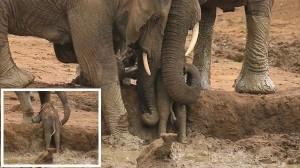 泥にはまった赤ちゃんゾウ 大人のゾウたちが協力して救出!
