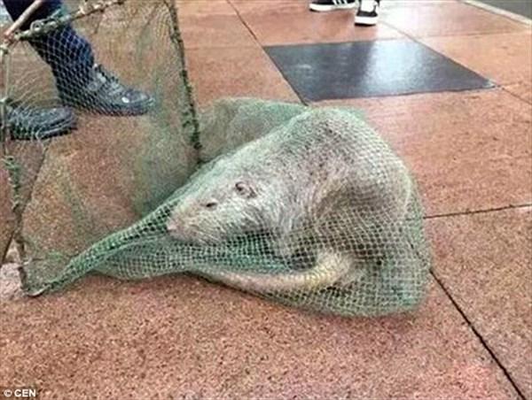 「変異体ラットが逃げ出した!」中国の医大で大パニック! 1mのネズミを捕獲