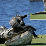 フロリダ州のゴルフ場でワニがレスリング! 通称「ゴリアテ」というワニが勝利