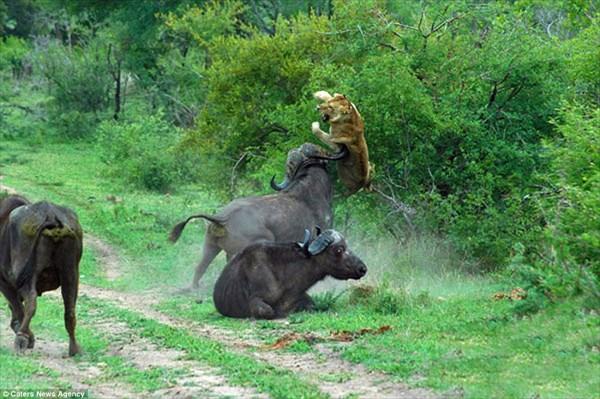 普段大人しい奴ほどキレると怖い! ライオンに強烈な一撃をくらわす水牛