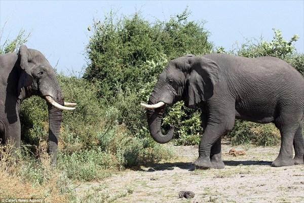 地上最大のビッグマッチ アフリカゾウVSアフリカゾウの激闘が撮影される!