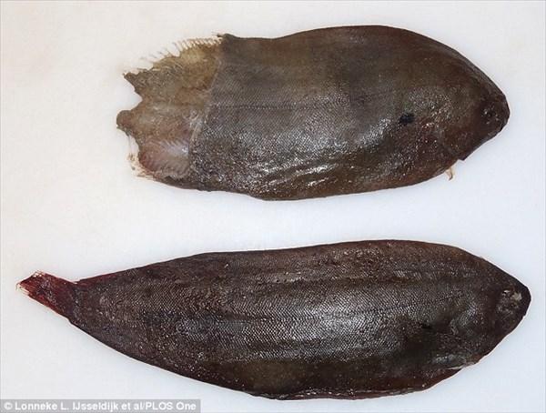 イルカ・クジラの噴気孔に魚(シタビラメ)が詰まって窒息死する事案が発生