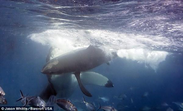 全長5メートル 巨大なホオジロザメが仲間を襲う瞬間!