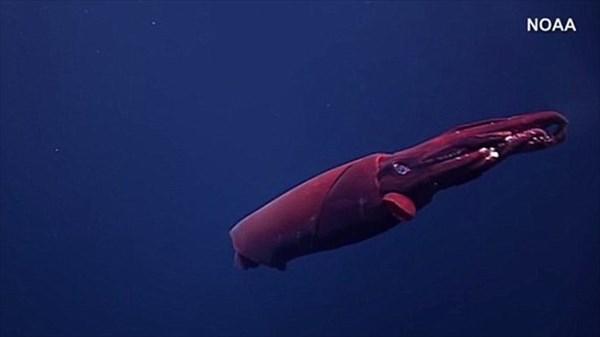 ヒロビレイカ?ムチイカ? ハワイの深海で無人探査機が珍しい深海イカを撮影