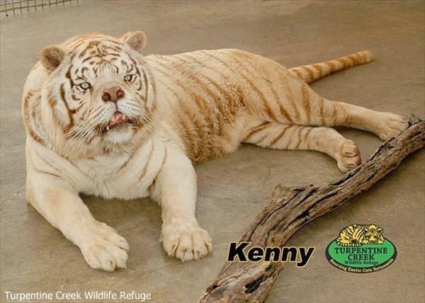 実はダウン症ではなかった! ホワイトタイガーのケニーに見る近親交配と誤解
