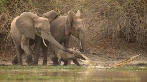 赤ちゃんゾウ危機一髪! アフリカゾウの鼻に噛み付いたワニとの綱引き勃発!
