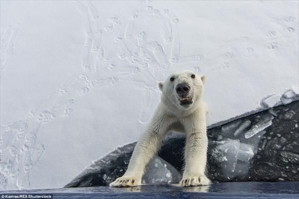 野生のホッキョクグマはやっぱり怖い! 2時間にわたり船に襲い掛かる