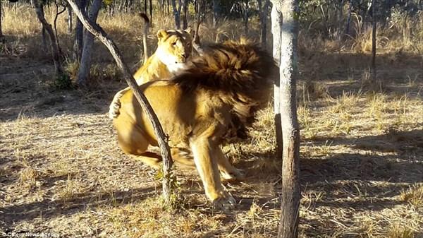 完全に計画犯! オスライオンにお茶目なドッキリを仕掛けるメスライオン