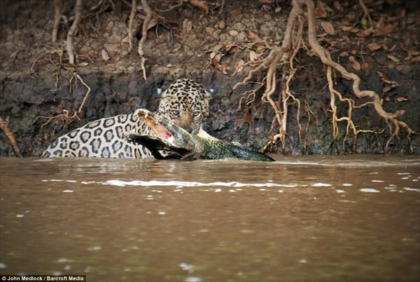 「ワニなんてデカイだけのトカゲだ!」 水中戦も得意なジャガーのワニ狩り!