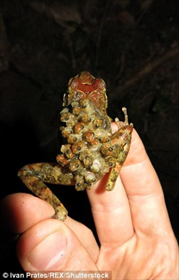 背中で子育てする絶滅危惧種のカエル ブーランジェ・バックパック・フロッグ!