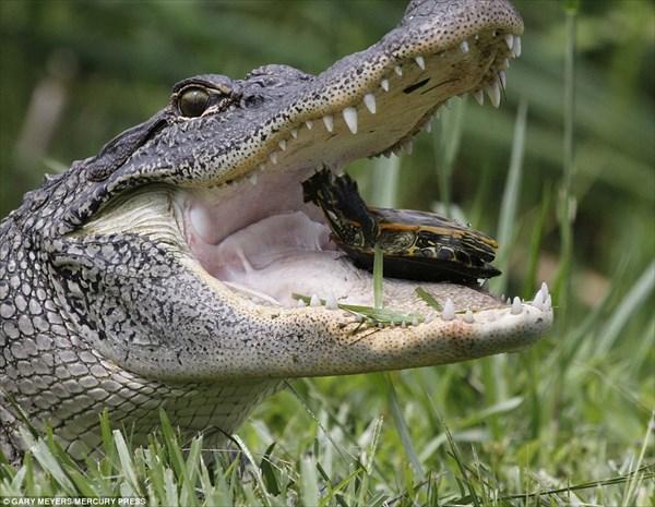 亀の甲羅だって余裕! ヘビと亀を食べるワニ(ちょっと閲覧注意)