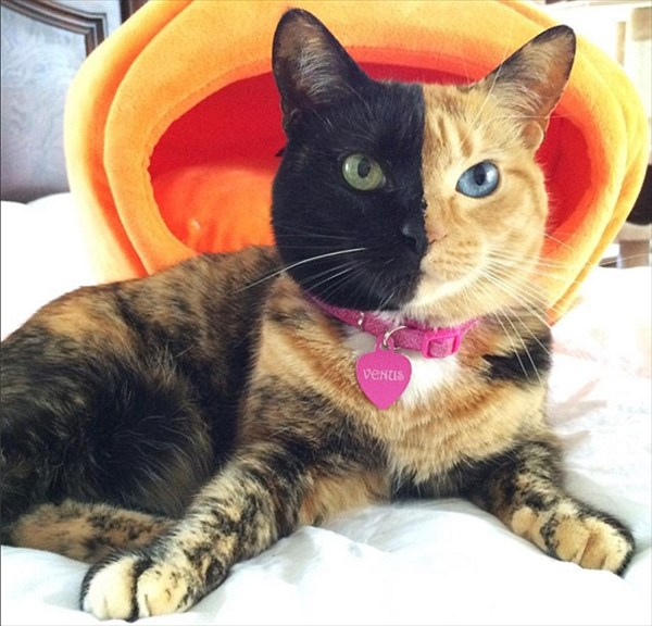 黒猫?茶トラ? 二つの顔を持つ猫のヴィーナス しかもオッドアイ!