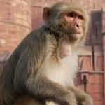 インドの司祭が猿に殺された!? 人に向けてレンガを落とす猿被害インドで多発
