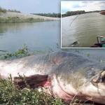 重量120キロ! イタリアのポー川で巨大な化物ナマズが釣り上がる!!