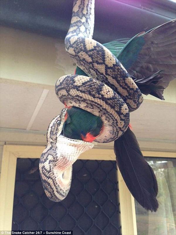 カーペットパイソン(ニシキヘビ)がオウムを丸呑みにする