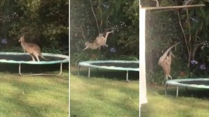 おバカなカンガルー ジャンプは得意なはずなのに、トランポリンでまさかの転倒