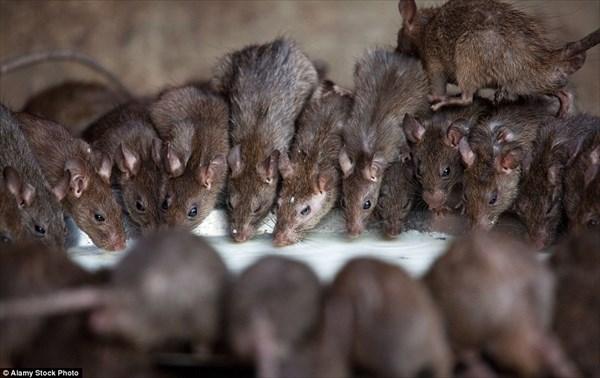 2万匹のネズミを神聖な存在として崇める インドのカルニマタ寺院!