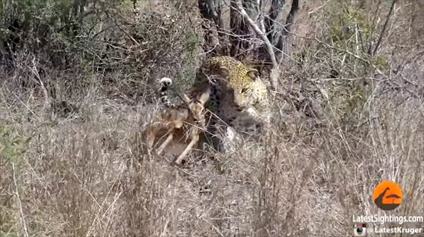 種を超えた愛情!? 母親を失った赤ちゃんインパラの世話をする野生のヒョウ