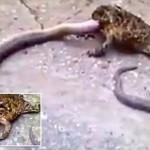 天敵関係逆転! ヘビを食べるオオヒキガエルが目撃される!