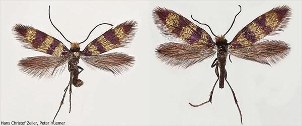 金と紫のボーダー柄! イタリアの高地で新種の蛾を発見!