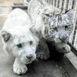 中国でホワイトタイガーの赤ちゃん誕生 うち一匹は縞模様も無い真っ白なトラ!