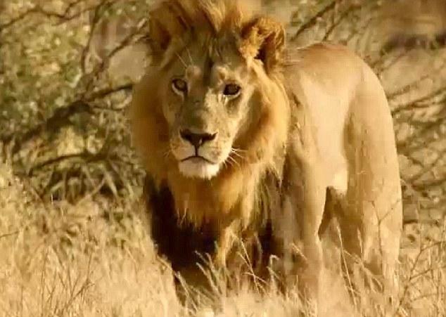 ライオンの世界でも女性が強くなっている?タテガミが生えメスライオンがオス化