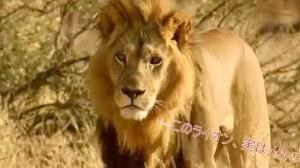 ライオンの世界でも女性が強くなっている?メスライオンにタテガミが生えオス化