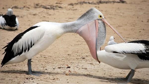 「その魚は俺んだ!」 ペリカンVSペリカンの激しい戦い!
