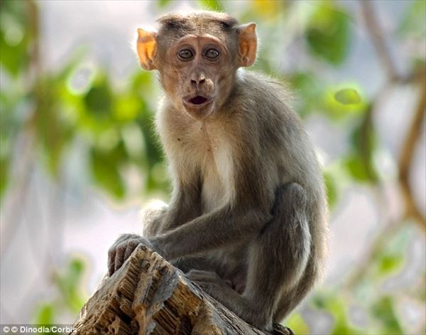 猿がバスをジャック! 運転手の休憩中に、猿がエンジンをかけて衝突事故へ!