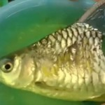 骨折が原因で体が半分になった魚 下半身を失った状態で約半年も生存し続ける!
