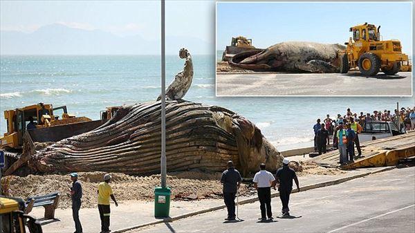オーストラリアで14mのザトウクジラが漂着 サメが集まるため人気ビーチ封鎖