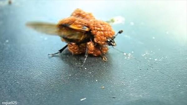 女王蜂VSダニ 蜂の体を覆う無数のダニ!蜂が必死に抵抗するも絶対に離れない