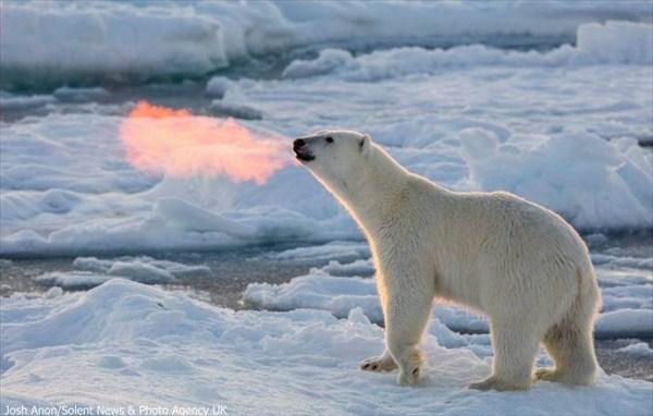 地球温暖化が急激な進化をさせた!? ホッキョクグマ、火を噴く!