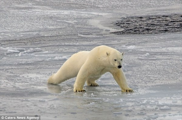 「流氷うっす!」 薄い氷の上を、体重を分散して慎重に進むホッキョクグマ!