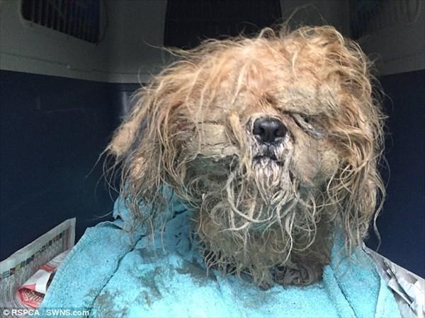 クリスマスイブに救助された犬のプリン 伸びきった毛を刈られ現在回復中!