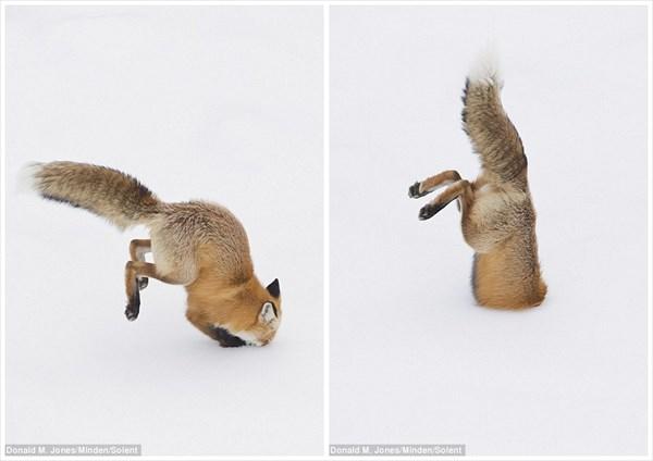 雪にダイブするキツネ! 見事雪の下に隠れていたネズミをGETする!