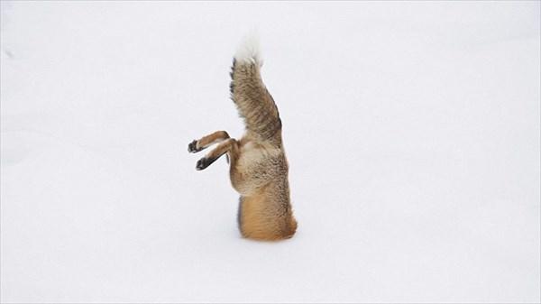 頭から飛び込んで捕獲!!磁場を使い雪の中にいるネズミを捕まえるキツネをとらえたダイビングムービー