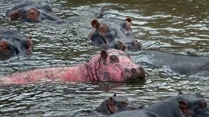ケニアのマサイマラ国立公園でピンクのカバが見つかる! 白変による色素欠乏!