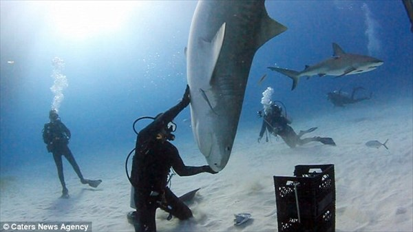 サメも芸を覚える! 体重1トンの巨大なイタチザメを手なずけた男