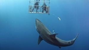 「俺はサメに触るぞーぉ!」 巨大ホオジロザメを「いい子いい子」する命知らず