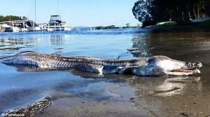 【魚?ワニ?】オーストラリアの湖で発見された謎の生物! 正体はスズハモか?