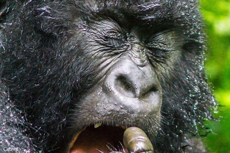鼻クソを食べるのは本能だった? 自分の鼻くそに悶絶するゴリラが撮影される