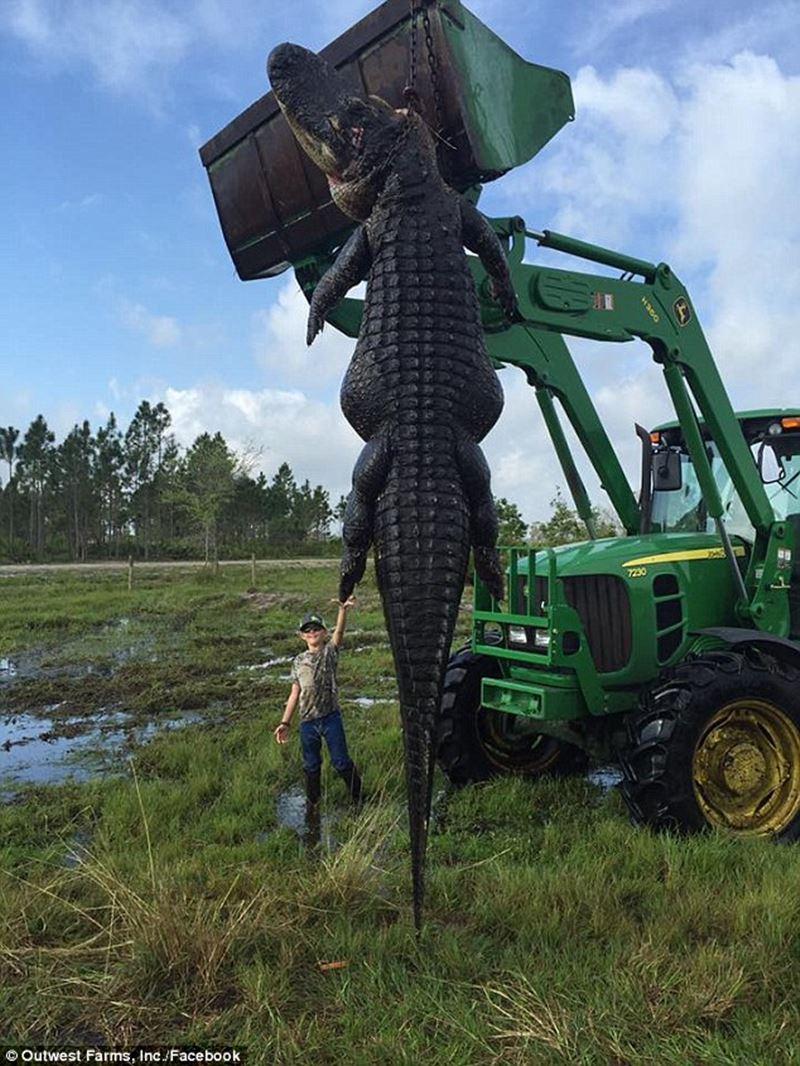 牧場の牛を食い荒らしていた360キロ超えのモンスターワニ捕獲される