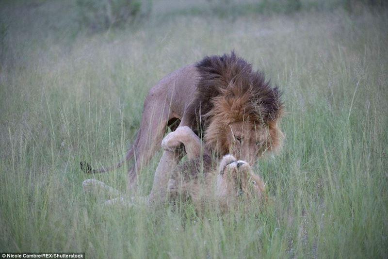 百獣の王がボーイズラブ? ボツワナでオス同士で交尾するライオンが撮影される