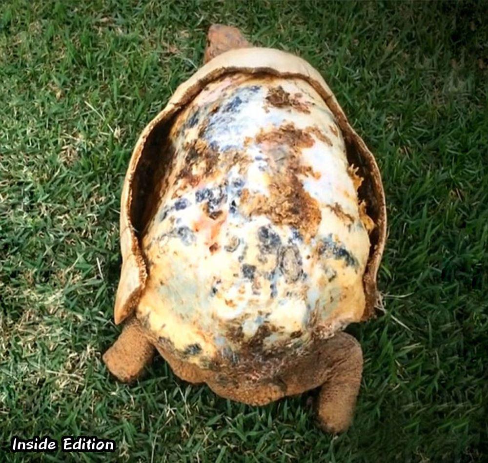 甲羅の85%を失ったカメ、3Dプリンター製の特注の甲羅を手に入れる