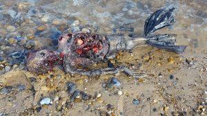 3日で再生回数59万! イギリスの海岸で人魚の死骸見つかる!今度こそ本物?