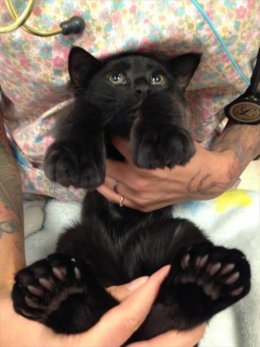 地域によっては15%の確率で出現!幸運を招くとされる「多指症の猫」