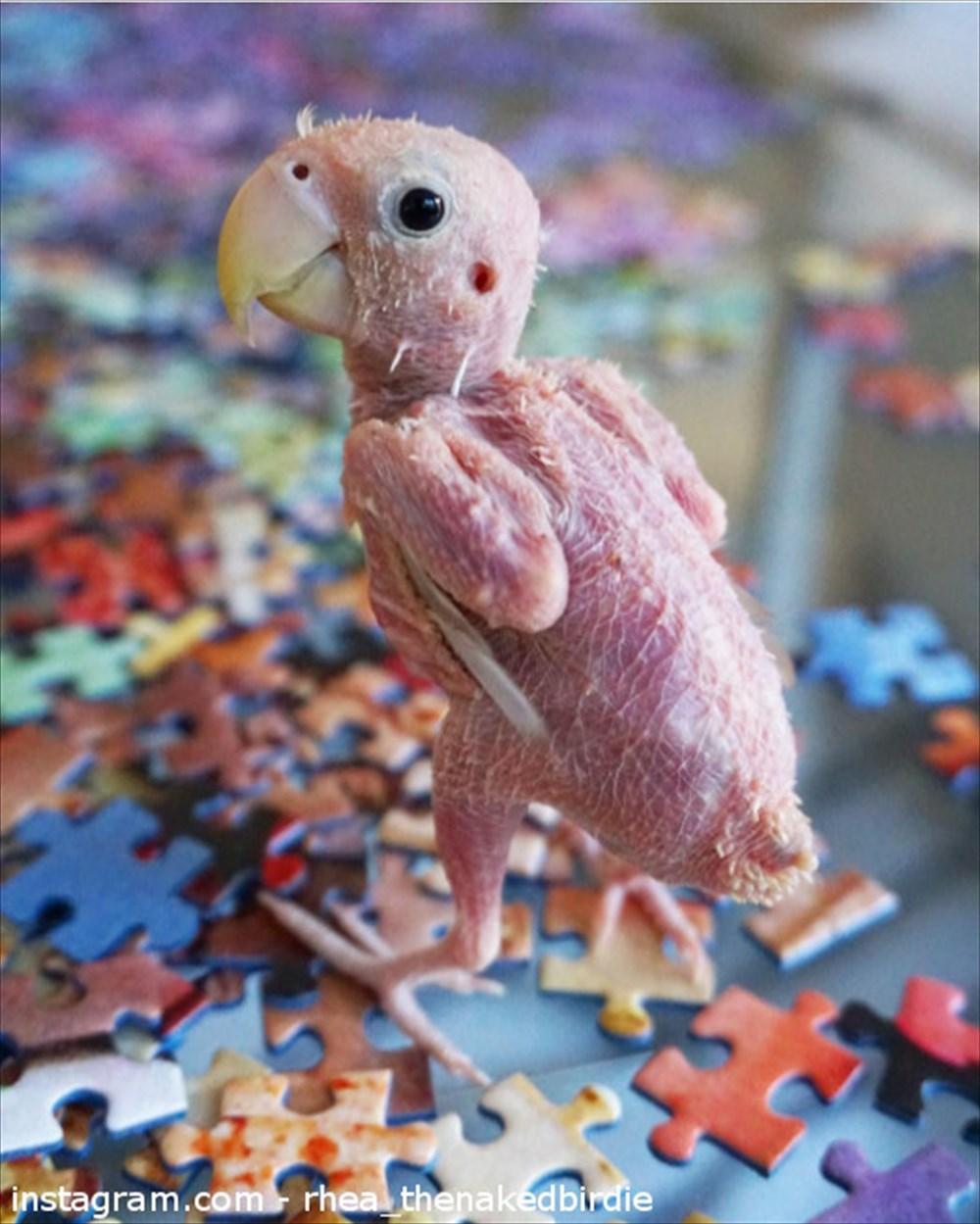 ウィルス性疾患(PBFD)で羽を失ったボタンインコのレアちゃん